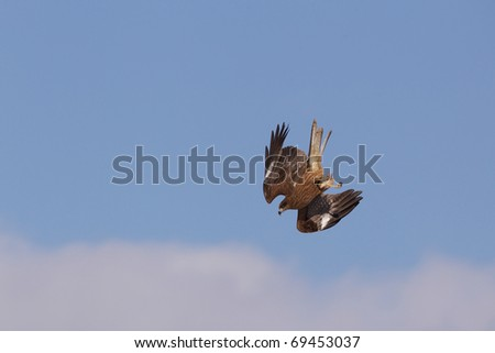 A kite is diving from high in the sky toward food he has spotted on the ground. - stock photo