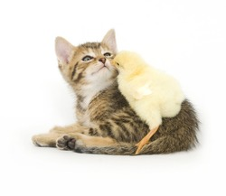 A kitten and chick share a kiss.