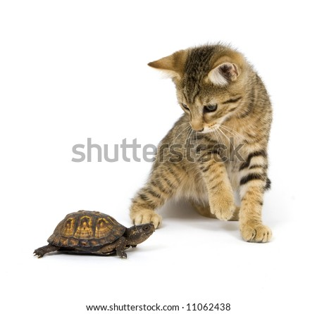 A kitten investigates a small box turtle on a white background