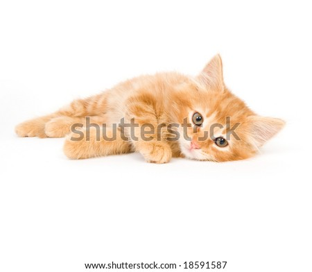 A kitten lays down on a white background and looks towards the camera