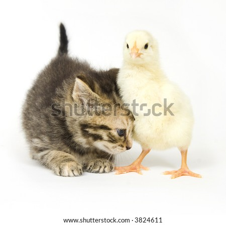 A kitten nudges a baby chick on a white background. Both are being raised on a farm in Illinois