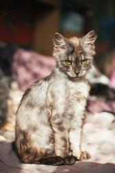 A kitten of an unusual color. Kitten marble coloring. Unusual kitten. A very beautiful kitten. Pets.
