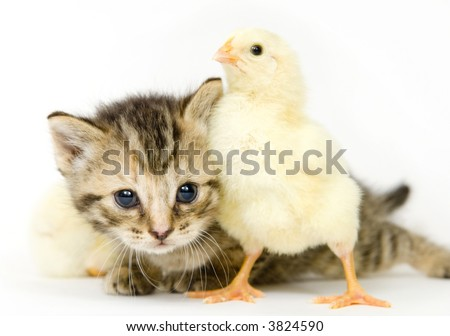 A kitten surrounded by baby chicks on white background. Both are being raised on a farm in Illinois