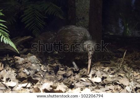 A Kiwi bird in her natural habitat during night.