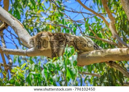 A koala, Phascolarctos cinereus, sleeping on a branch of eucalyptus in Yanchep National Park, Western Australia. Yanchep has been home to a colony of koalas since 1938. Blue sky, summer season. #796102450
