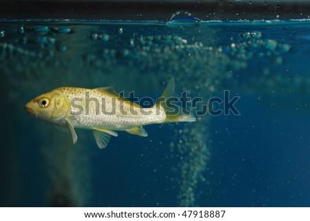 A koi carp fish swim in the glass aquarium.