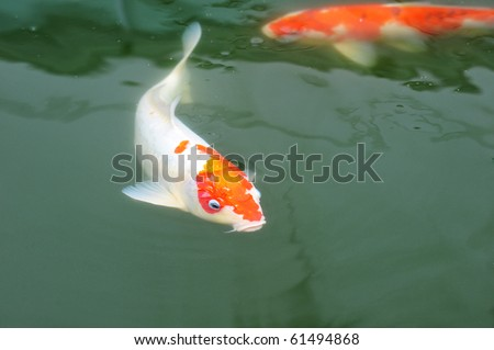 stock photo A Koi Carp Swimming Slowly In A Clear Water Pond