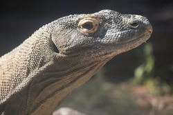 A Komodo dragon profile closeup