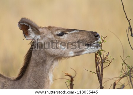 A kudu cow feeding on leaves