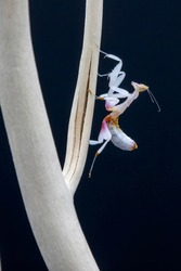 A L2 Instar Orchid praying Mantis Nymph, climbing a branch against a black background.