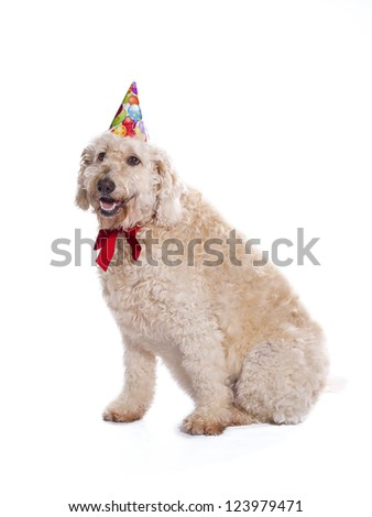 A labradoodle wearing a birthday hat