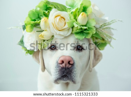 A labrador retriever looking glamorous with a flower crown on his head. #1115321333