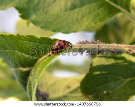 A lady bug on an apple tree leaf feeding on plant louses
