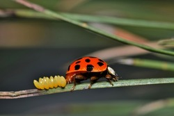 A ladybird beetle laying eggs on a pine needle during the onset of Spring in Houston, Texas.