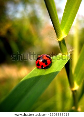 a ladybug or ladybird red and black on the green leaf of grass in the middle of picture as to show how wonderful to live in the healthy environment.