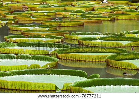 A lake with giant water lilly leaves, Mauritius, Africa