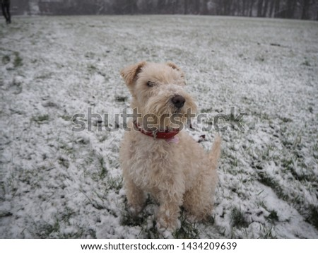 A lakeland terrier on a snowy field  #1434209639