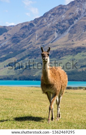 a lama walking on a lawn with blue lake and mountains at back #1362469295