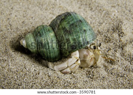 A land hermit crab (coenobita rugosus) with a green shell on sand