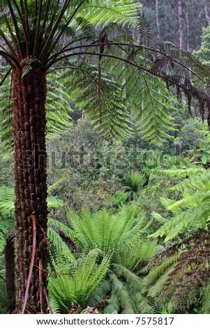 A landscape of a temperate rainforest in Victoria Australia.