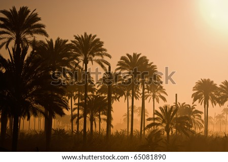 A landscape of Silhouetted palm trees in Egypt