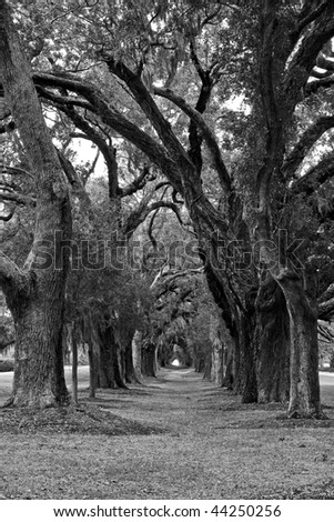 A lane of spanish moss covered old oak trees down a green lawn