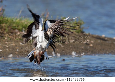 A lapwing is taking off out of the water resulting in water drops flying around