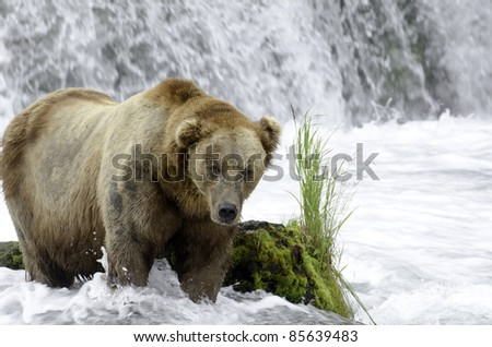 A large adult Alaskan brown bear standing near a waterfall and rapids looking for salmon in Katmai National Park.
