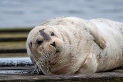 A large adult bearded seal lying on a wooden slipway near the ocean.  The wild seal has a light grey coloured wet spotted fur coat, black heart shaped nose and long white curly whiskers.
