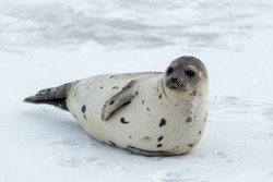 A large adult harp seal with a light colour grey coat with dark spots. The seal is propped up on ice looking attentively. The dark eyed, earless, and long whiskered saddleback has a large fat belly.