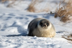 A large adult harp seal with a light grey coat and dark spots. The seal is propped up on the ice looking attentively.The dark eyed, earless, and long whiskered saddleback has a large belly of blubber.