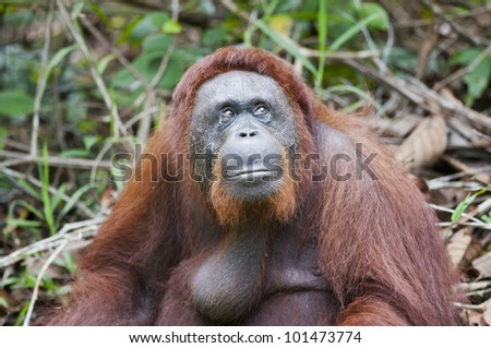 A large, adult, male orangutan keeps an eye on things. The background is defocused foliage providing space for copy if required.