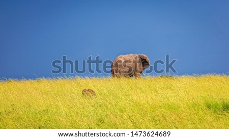 A large African bush elephant, dwarfed by the sky and grassland. Warthog hidden in grass. Animal in wild. #1473624689