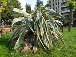 A large agave, or century plant, in a park, in Piraeus, Greece