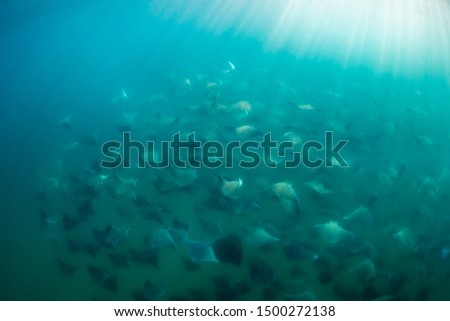 A large aggregation of Munk's devil rays, mobula munkiana, swimming in deep water, Sea of Cortes, Baja California, Mexico.  Stock fotó ©