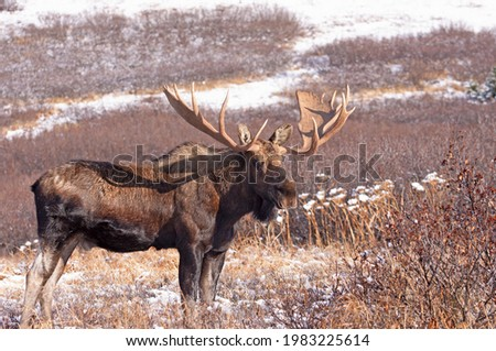A large Alaska bull moose stands in a mountain meadow after the season's first snowfall. Imagine de stoc ©