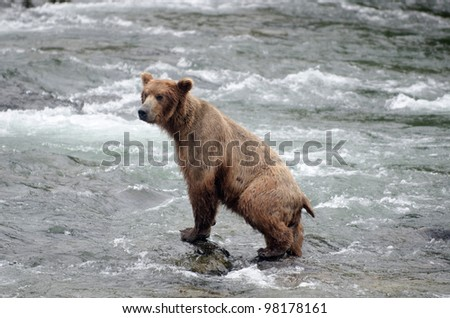 A large Alaskan brown bear  fishing for salmon in Katmai National Park