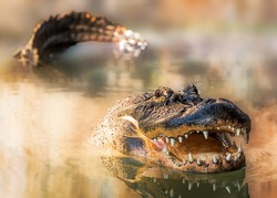 A large alligator swimming in a lake with his tail and head showing and mouth open wide