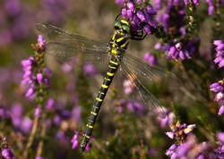 A large and impressive Dragonfly, the Golden-ringed Dragonfly has distinctive black and yellow patterning and they are found along acidic streams in heaths and moorlands