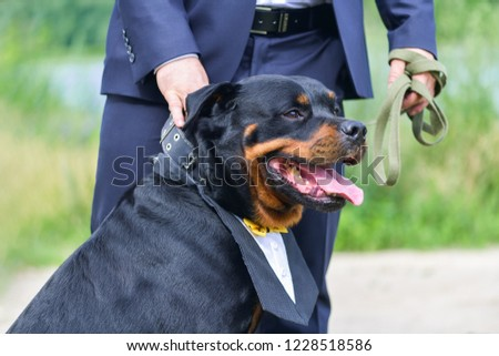 A large and strong dog Rottweiler with a beautiful manishka with a protruding tongue stands next to the groom in a blue suit #1228518586