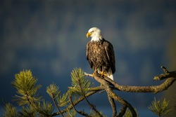 A large bald eagle is perched on a large branch in north Idaho.