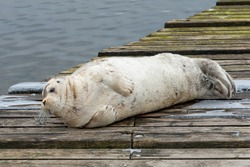 A large bearded adult seal lying on a wooden slipway near the ocean.  The bearded seal has a light grey coloured wet fur coat with long white curly whiskers. It has a heart shaped nose.