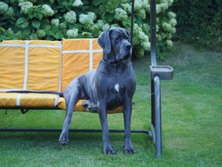 A large beautiful dog, Great Dane breed, sits on the outdoor sofa swing in the blooming garden in summer. Portrait of a happy pet
