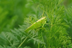 A large beautiful green grasshopper is sitting on the leaves of carrots in the vegetable garden. Bright juicy natural green color. Insect pests. Entomology.