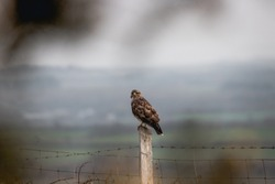 A large bird of prey perched on a fence post