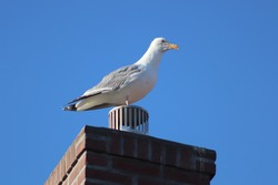 A large bird standing on top of a chimney. This bird has white and gray feathers.