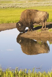 A large Bison drinks from still waters in Yellowstone National Park.