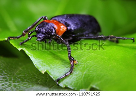 A Large Black and Orange Beetle on a green leaf in extreme close-up
