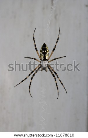 A large black and yellow garden spider