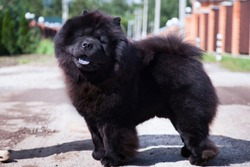 A large black shaggy dog of the Chow Chow breed, with open mouth and sticking out blue tongue, stands on the track